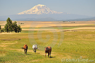 Horses and Mt. Adams