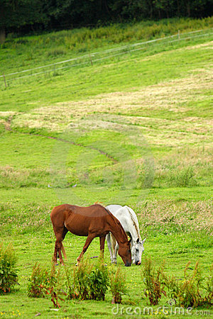 Horses on pasture