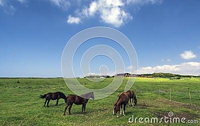Horses on a pasture, Big Island, Hawaii