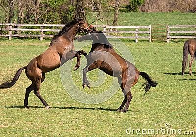 Horses at play