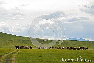 Horses Running across Mongolian Steppes