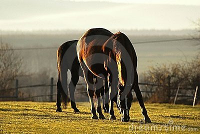 horses shining in sunset light