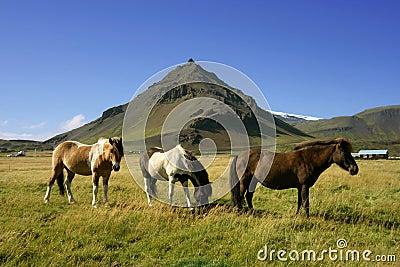 Horses in Snaefellsnes