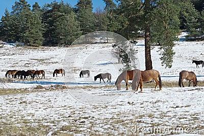 Horses in snowy rolling meadow