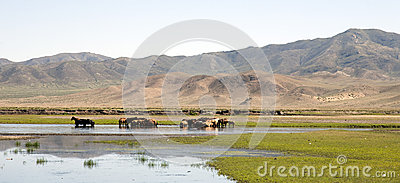 Horses Stand in a River