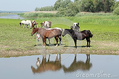 Horses standing on river
