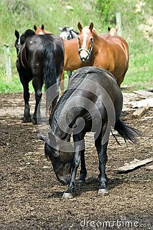 Horses on West Virginia Farm