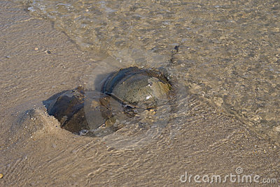 Horseshoe crab (mating)