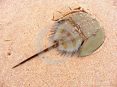Horseshoe Crab on Sand Beach