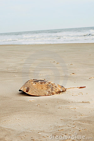 Free Horseshoe Crab Shell Stock Photos - 22902133