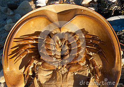 Horseshoe crab ventral closeup