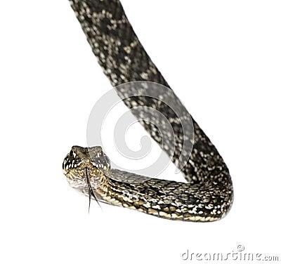 Horseshoe Whip Snake against white background