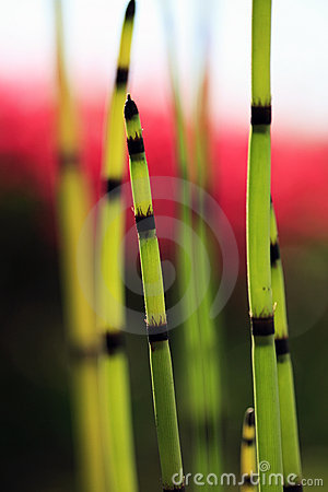 Horsetail closeup