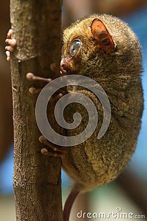 Horsfield s tarsier