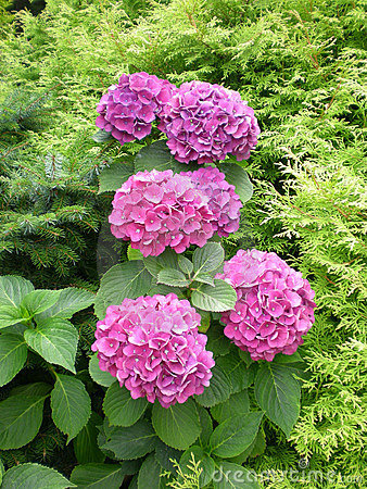 Free Hortensia Stock Photos - 6377863