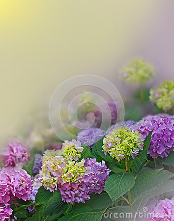 Hortensia on floral background