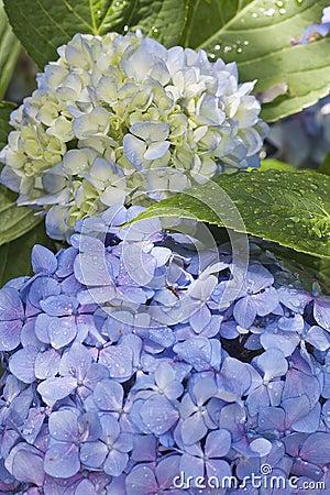 Free Hortensia Hydrangea Macrophylla Royalty Free Stock Images - 91408349