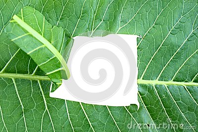 Horticultural horseradish