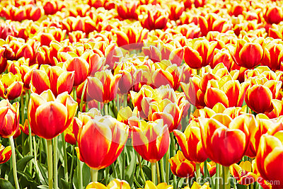 Horticulture with tulips in the Netherlands