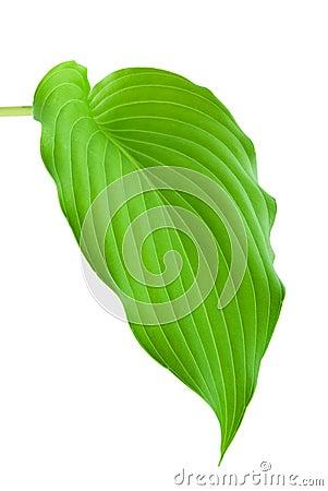 Hostas Leaf