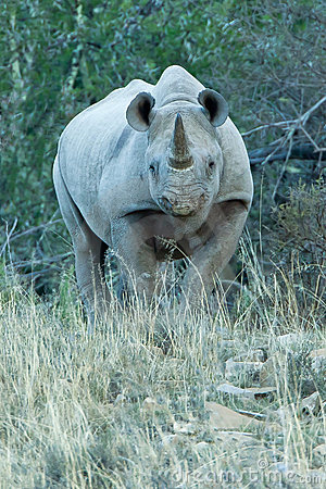 Hostile black rhino