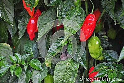 Hot Pepper Farm