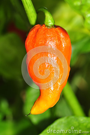 Hot Pepper Farm