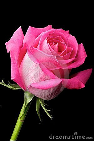 hot pink rose on black background stock images image