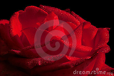 Hot red rose with waterdrops