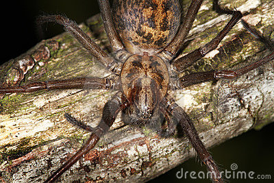 House or Cobweb Spider.