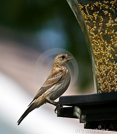 Free House Finch Royalty Free Stock Photo - 5741855