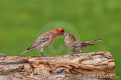 House Finch Feeding Young