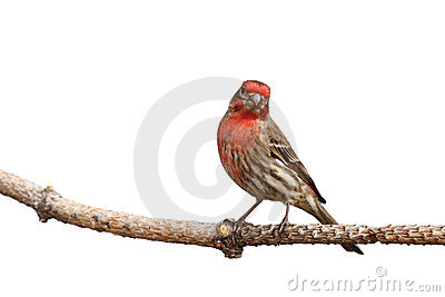 House finch with head cocked