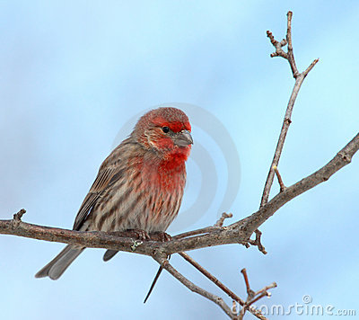 Free House Finch Male Stock Image - 3826271