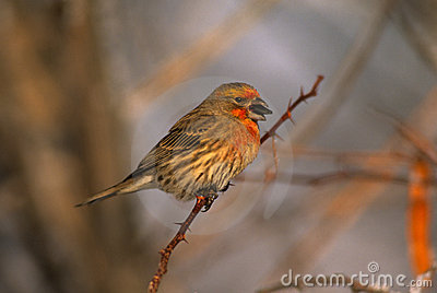 House Finch With Sunflower Seed