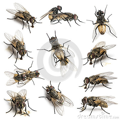 11 House flies