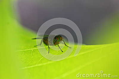 Fly on leaf macro