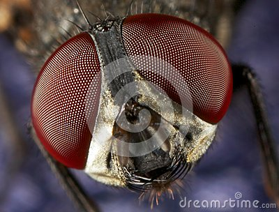 House fly eyes