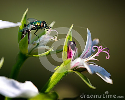 House Fly on Flower Macro