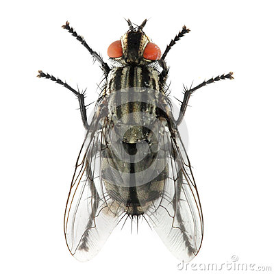 The House Fly ( Musca domestica ).
