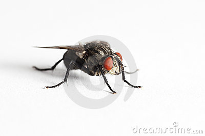 House fly (Muscidae Domestica)
