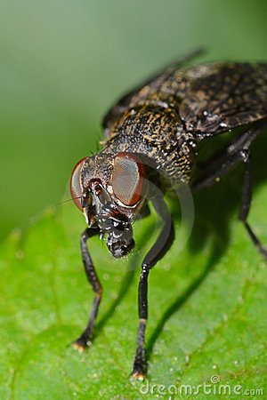 House Fly Portrait