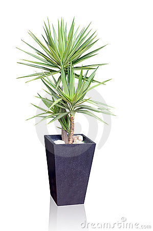 Free House Plant - Yucca Stock Images - 9633934