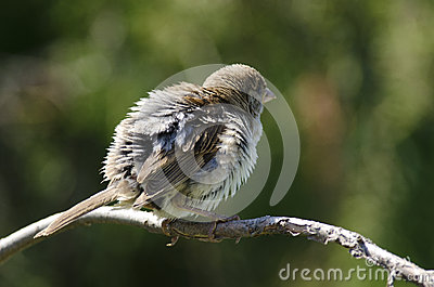 House Sparow (passer domesticus)