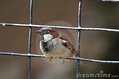 House sparrow on a fence