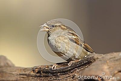 House Sparrow (Passer domesticus domesticus)