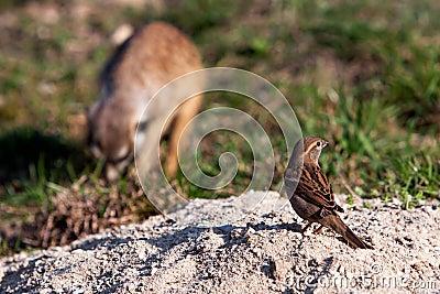 House Sparrow and suricatta