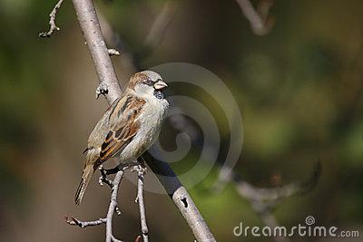 House Sparrow perched on branch