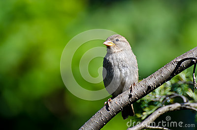 House Sparrow Perched in a Tree