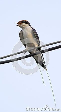 House swift bird